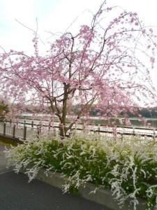 お花見2012_3